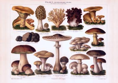 Chromolithographie aus 1893 zeigt verschiedene genießbare Pilzsorten.