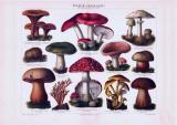 Chromolithographie aus 1893 zeigt verschiedene giftige Pilzsorten.