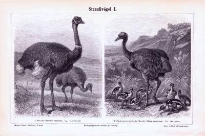 Stiche aus 1893 zeigen 4 Arten von Straußenvögeln in natürlicher Szenerie.