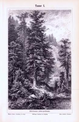 Stiche aus 1893 zeigen eine Edeltanne in natürlicher Szenerie und Zweige, Früchte, Nadeln, Zapfen und Samen von Tannen.