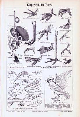 Stich aus 1893 zeigt anatomische Merkmale verschiedener Vögel.