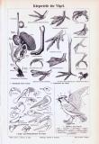 Stich aus 1893 zeigt anatomische Merkmale verschiedener...