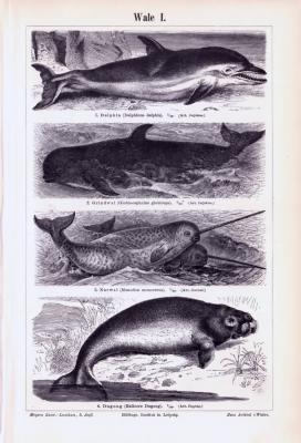 Stiche aus 1893 zeigen verschiedene Arten von Walen in natürlicher Szenerie.