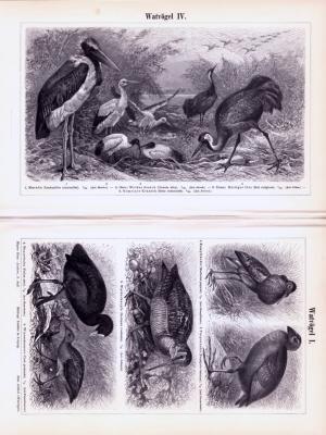 Stiche aus 1893 zeigen verschiedene Arten von Watvögeln in natürlicher Szenerie.