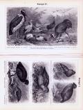 Stiche aus 1893 zeigen verschiedene Arten von Watvögeln...