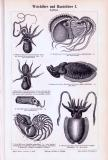 Stiche aus 1893 zeigen verschiedene Arten von Weichtieren...