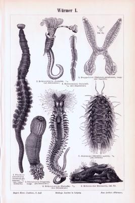 Stiche aus 1893 zeigen verschiedene Arten von Würmern.