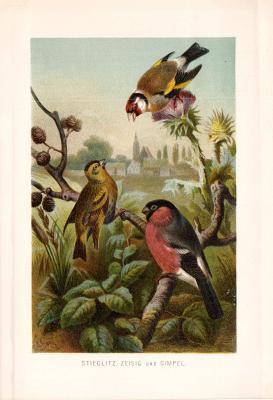 Chromolithographie aus 1890 zeigt einen Stieglitz, einen Zeisig und einen Gimpel in natürlicher Umgebung.