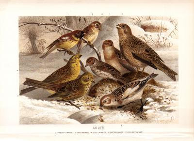 Chromolithographie aus 1890 zeigt Ammern in natürlicher Umgebung.