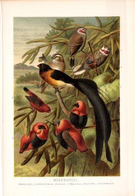 Chromolithographie aus 1890 zeigt Webervögel in natürlicher Umgebung.