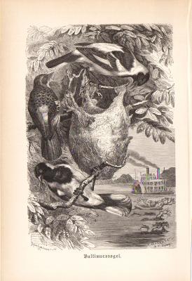 Stich aus 1890 zeigt einen Baltimorevogel in natürlicher Umgebung.