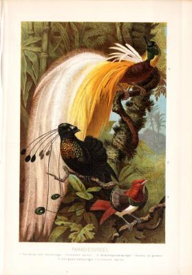 Chromolithographie aus 1890 zeigt Paradiesvögel in natürlicher Umgebung.