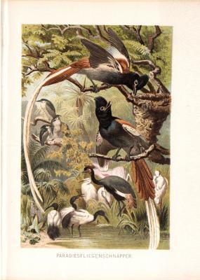 Chromolithographie aus 1890 zeigt Paradiesfliegenschnäpper in natürlicher Umgebung.