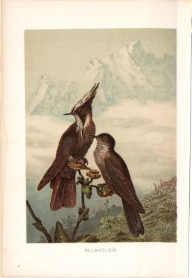 Chromolithographie aus 1890 zeigt zwei Helmkolibris in natürlicher Umgebung.