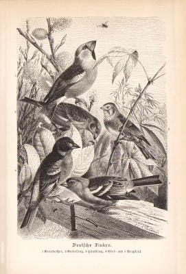 Stich aus 1890 zeigt Deutsche Finken in natürlicher Umgebung.