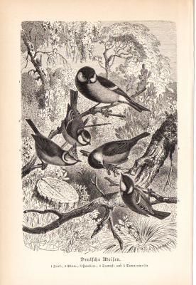Stich aus 1890 zeigt Deutsche Meisen in natürlicher Umgebung.