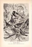 Stich aus 1890 zeigt Deutsche Meisen in natürlicher...