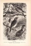 Stich aus 1890 zeigt 5 Drosseln in natürlicher Umgebung.