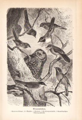 Stich aus 1890 zeigt Grasmücken in natürlicher Umgebung.
