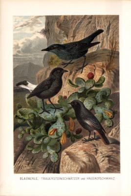 Chromolithographie aus 1890 zeigt eine Blaumerle, einen Trauersteinschmätzer und einen Hausrotschwanz in natürlicher Umgebung.