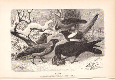 Stich aus 1890 zeigt Raben in natürlicher Umgebung.