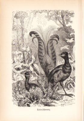 Stich aus 1890 zeigt einen Leierschwanz in natürlicher Umgebung.