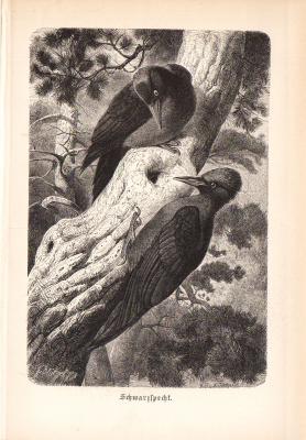 Stich aus 1890 zeigt einen Schwarzspecht in natürlicher Umgebung.