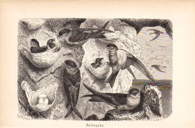 Stich aus 1890 zeigt Salanganen in natürlicher Umgebung.