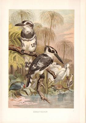 Chromolithographie aus 1890 zeigt einen Graufischer in natürlicher Umgebung.