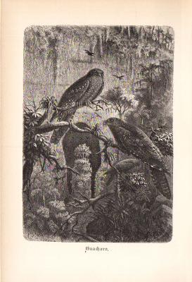 Stich aus 1890 zeigt zwei Guacharos in natürlicher Umgebung.