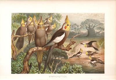 Chromolithographie aus 1890 zeigt Nymphensittiche in natürlicher Umgebung.