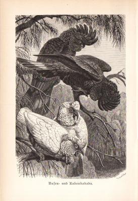 Stich aus 1890 zeigt einen Nasenkakadu und einen Rabenkakadu in natürlicher Umgebung.