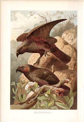 Chromolithographie aus 1890 zeigt einen Nestorpapagei in natürlicher Umgebung.