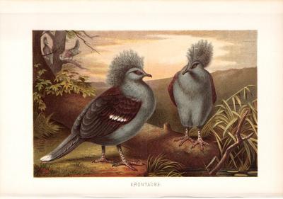 Chromolithographie aus 1890 zeigt zwei Krontauben in natürlicher Umgebung.