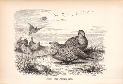Stich aus 1890 zeigt Fausthuhn - Steppenhuhn in natürlicher Umgebung.