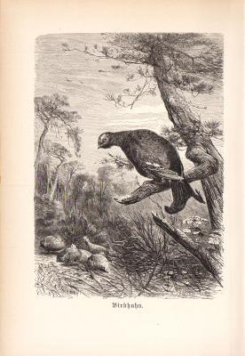 Stich aus 1890 zeigt ein Birkhuhn in natürlicher Umgebung.