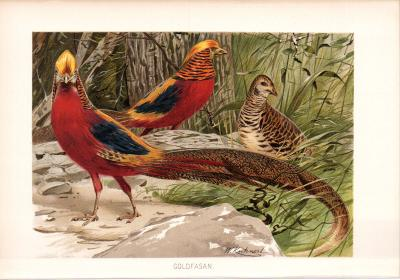 Chromolithographie aus 1890 zeigt Goldfasane in natürlicher Umgebung.