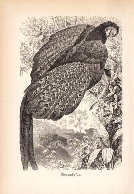 Stich aus 1890 zeigt einen Argusfasan in natürlicher Umgebung.