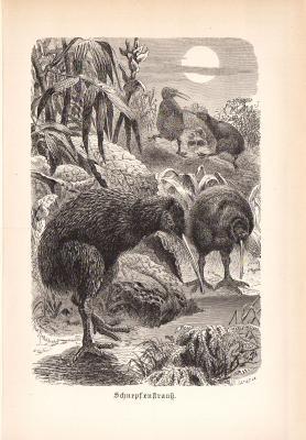 Stich aus 1890 zeigt einen Schnepfenstrauß in natürlicher Umgebung.