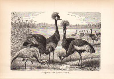 Stich aus 1890 zeigt Jungfernkranich und Pfauenkranich in natürlicher Umgebung.