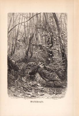 Stich aus 1890 zeigt eine Waldschnepfe in natürlicher Umgebung.