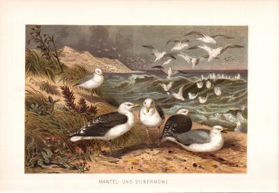 Chromolithographie aus 1890 zeigt Mantelmöwen und Silbermöwen in natürlicher Umgebung.