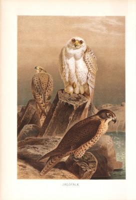 Chromolithographie aus 1890 zeigt Jagdfalken in natürlicher Umgebung.