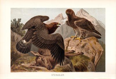 Chromolithographie aus 1890 zeigt Steinadler in natürlicher Umgebung.