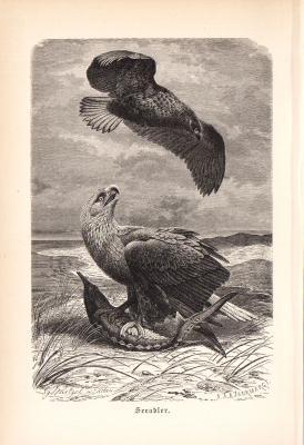 Stich aus 1890 zeigt einen Seeadler in natürlicher Umgebung.