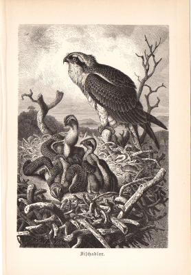 Stich aus 1890 einen Fischadler in natürlicher Umgebung.
