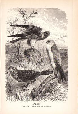 Stich aus 1890 zeigt eine Kornweihe, Wiesenweihe und eine Steppenweihe natürlicher Umgebung.