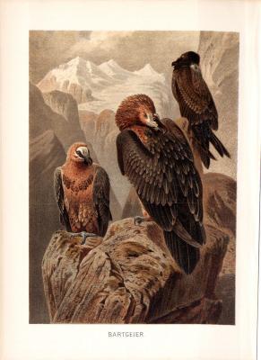 Chromolithographie aus 1890 zeigt Bartgeier in natürlicher Umgebung.