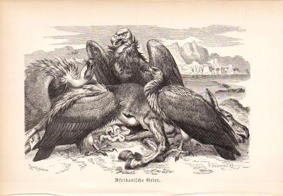 Stich aus 1890 zeigtAfrikanische Geier in natürlicher Umgebung.