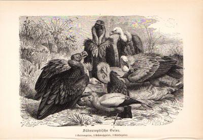 Stich aus 1890 zeigt Südeuropäische Geier in natürlicher Umgebung.